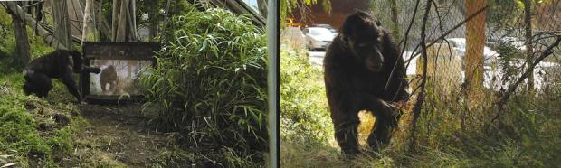 Two screen image. On the right, a chimpanzee in a green area near a busy road. On the left, a chimp watches the same image on a TV screen in a zoo enclosure.
